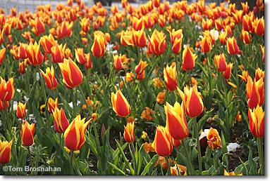 Tulip Festival, Istanbul, Turkey